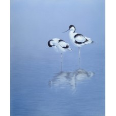 Avocets - A Moment of Reflection